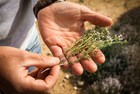In search of Herbes de Provence